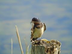 Swollow (stuartcroy) Tags: orkney island swallow bird l