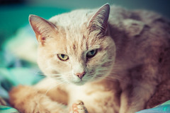 DSC_8173 (adzmofo) Tags: cats pets animals cute sunny cat
