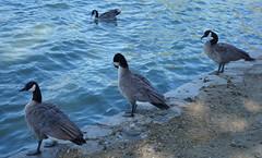 birds in fremont lake, CA (pandeesh89) Tags: birds fremont sfo ca nature waterside lake elizabeth beauty outing