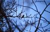 Chardonneret (Greg Number One) Tags: chardonneret oiseau nature wildlife bird goldfinch forez