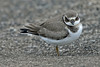 Ringed Plover (Fresh Autumn) (Roy Lowry) Tags: charadriushiaticula ringedplover leasowe wader