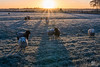 Sheep in the morning frost (Tony Kanev) Tags: frost morning backlight sunrise sheep fields sunrays nrc dusk