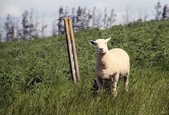 One Southdown lamb (baalands) Tags: new zealand south island sheep farm southdown lamb stud ewe fence