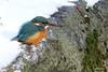 Martin-Pêcheur neige 170111-10-RPjpg (paul.vetter) Tags: oiseau ornithologie ornithology faune animal bird martinpêcheur alcedoatthis eisvogel kingfisher