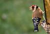 Les oiseaux du 1er janvier 2017 (PierreG_09) Tags: seix ariège pyrénées pirineos couserans faune oiseau chardonneretélégant cardueliscarduelis europeangoldfinch passériformes fringillidés jilgueroeuropeo stieglitz eu jardin chardonneret