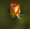 It's Blooming Ready (swong95765) Tags: rose beauty bokeh yellow orange red petals pristine young flower budding stem