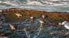 Surfbird, [Playero de las Rompientes]  (Aphriza virgata) (Arturo Nahum) Tags: aves birdwatcher bird birds pajaros wildlife wild nature animal chile surfbird playerodelasrompientes aphrizavirgata