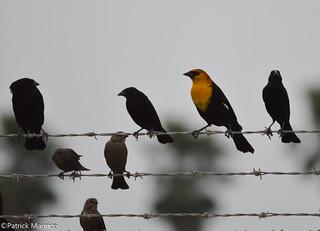 Yellow-headed Blackbird and Bronzed Cowbirds [Explored]
