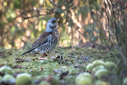 Fieldfare among the windfalls