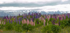 Southern Alps lupins (New Zealand) (My Wave Pics) Tags: landscape nature southern zealand alps new lupine scenic island sky south mountain beautiful view scenery country tourism cloudy destination scene alpine environment background national field wallpaper valley outdoor panoramic rural countryside purple color