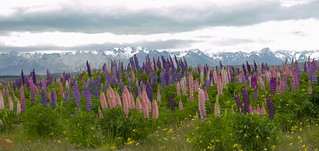 Southern Alps lupins (New Zealand)