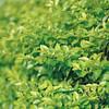 IMG_6088.jpg (YUSHENG HSU) Tags: 葉 富士フイルム xpro2 緑 leica 綠色 fujifilm 葉子