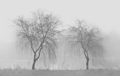 Pair of foggy trees (Mister Oy) Tags: davegreen oyphotos ©oyphotos foggy moody weather winter trees tree fujixpro2 fujinon35mmf14 35mm 35mmf14 fuji xseries mono monochrome blackandwhite orrellwaterpark orrell wigan landscape countryside englishcountryside bare mist misty black white two twin pair sidebyside together