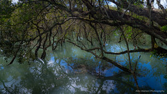 Drowned forest (AlexWatson Photography) Tags: new zealand nature harbour manukau water trees forest mangrove swamp travel newzealand fantasy reflection mirror