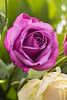 DSC_1112a (ABKamleh) Tags: flower rose macrophotography microlens nikkor 105mm nikon d7200 closeup speedlight flashgun externalflash indoors