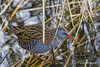 Water Rail / Waterral (rob.bremer) Tags: waterrail waterral water waterbird watervogel duinen dunes duinlandschap rallusaquaticus riet reed noordhollandsduinreservaat noordholland castricum boetjevankees bird vogel nature natuur