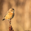 50 shades of brown (blackfox wildlife and nature imaging) Tags: canon 80d sigma150600mmossport stonechat deeestuary wirral