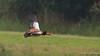 Nijl gans / Belgie (Jul Pitbull) Tags: fuut kuikens bootjegopro bootjeafstandbediening ganzen vliegendeeenden