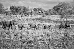 Elephants in a Line (virtualwayfarer) Tags: tarangirenationalpark tarangire nationalpark wildlife animals wild safari adventuresafari photosafari canon dslr decembersafari tanzania africa tanzanian blackandwhite blackandwhitephotography subsahara subsaharanafrica eastafricariftvalley riftvalley elephant mammal elephants wildelephant beautifulelephant herd family familyofelephants africanelephant endangered line elephantsinaline marching natgeoinpsired nationalgeographicinspired alexberger safariphotos adventuretravel solotravel travelinspiration photographyinspiration