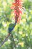 DSC_1138 (mylesm00re) Tags: africa jangroentjie malachitesunbird nectariniafamosa nectariniidae scarborough southafrica sunbirds westerncape za bird