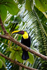 Chestnut-mandibled Toucan (dataichi) Tags: costa rica travel tourism destination toucan bird birdwatching birds birding tropical forest animal animals