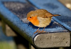 Life on the edge (jeannie debs) Tags: robin redbreast red brown icy frosty perch
