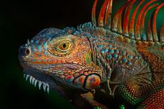 Green Iguana (Jos Buurmans) Tags: animal fl florida greeniguana iguana lizard miami nature northamerica reptiles southbeach southeast us usa unitedstates unitedstatesofamerica wildlife miamibeach
