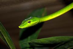 Green Vine Snake, Bioparc, Fuengirola, Andalusia, Spain (rmk2112rmk) Tags: greenvinesnake bioparc fuengirola andalusia vinesnake snake reptile herps macro dof bokeh ahaetullanasuta