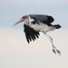 Marabou Stork, Leptoptilos crumeniferus, at the aptly named Marabou Pan, Savuti, Chobe National Park, Botswana