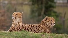 Two Heads.. two brothers! (Renate Bomm) Tags: 2017 366 canoneos6d ef200mmf2 renatebomm project365 kölnerzoo kopf brüder gepard cheetahs acinonyxjubatus brothers head 7dwf crazytuesdaytheme