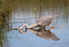Hector catching fish (Bogger3.) Tags: heron hector coth catchingfish venuspool canon600d coth5 sigma150x500lens