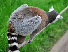 Don't look down ! (littlestschnauzer) Tags: park cute mammal climb woods nikon play wildlife yorkshire may rope tourist ring climbing lemur environment balance lemurs madagascar tailed attraction enclosure doncaster ringtailed agile 2015 stimulating