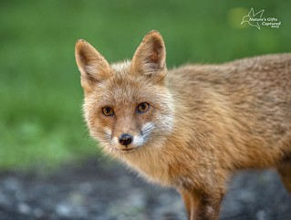 Red_Fox June 2015