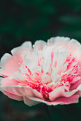 white and pink peony (Shandi-lee) Tags: park pink flowers sunlight plant ontario canada flower color colour detail macro green love nature floral beautiful june yellow photoshop garden outside outdoors happy photography petals spring flora colorful pretty girly pastel curves naturallight peony depthoffield petal foliage single bloom com flowering colourful lovely sunlit springflowers peonies flowercloseup blooming lightroom oshawa flowergarden beautifulflowers naturallighting ruleofthirds softtones flowermacro singleobject macroflower petails flowerphotography shandilee shandileee shandileecox oshawapeonyfestival shandileephotography