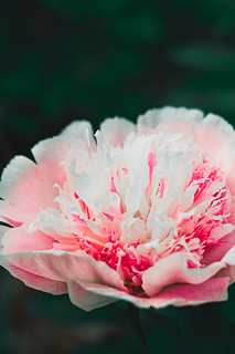 white and pink peony