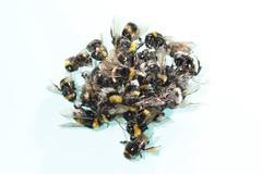 IMG_3234 (Roving_photographer) Tags: france tree toxic death bordeaux bee bumblebee morte lime pollen exhaustion footpath arbre bombus aquitaine bourdon tilia tilleul bombuslucorum tilleuldeurope