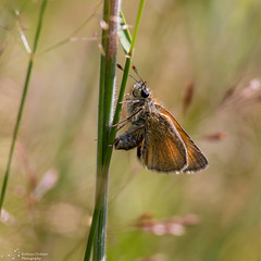 Small skipper (kaths piccies) Tags: forest canon alice small skipper holt f56 ef 400mm extenders smallskipper aliceholtforest canonef400mmf56