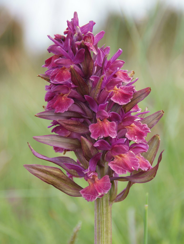 orchidee oland