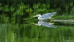 Heron fishing (Beardy Git) Tags: france bird heron water river fishing stream telephoto limousin argenton canoneos7d ef70300mmf456lisusm