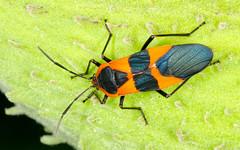 Large Milkweed Bug (scott_clark) Tags: red black green nature warning bug insect virginia pod wildlife charlottesville milkweed seedpod coloration azaleapark oncopeltusfasciatus aposematic largemilkweedbug