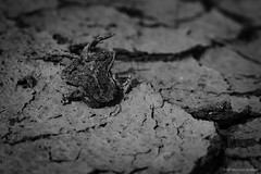 """ the rains did not come "" (mc_icedog) Tags: nature landscape dead pattern mud dry amphibian spell frog erosion drought"