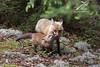 Dad and the kid (Seventh day photography.ca) Tags: ontario canada animal mammal spring adult wildlife young fox wildanimal kit predator redfox 2015 algonquinprovincialpark