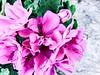 Flower batch. (Mr.Machain) Tags: flowers nature garden outdoors petals peace flowerpetals gardenflowers flowerlove naturelove greenleafs smellingflowers