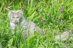 Natuur op zaterdag 1 augustus 2015 (sidneyportier) Tags: cat kat tamron90mm nikond3100