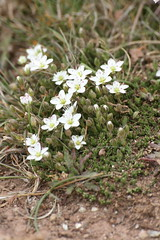 Spring Sandwort (Lisa J R Williams) Tags: white flower cornwall lizard wildflower springsandwort sandwort campion vernalsandwort vernalstitchwort