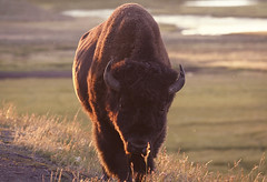 Buffalo (Mathijs Buijs) Tags: park sunset usa west america canon eos us buffalo united bull national american 7d western lone yellowstone states wyoming prairie bison grassland