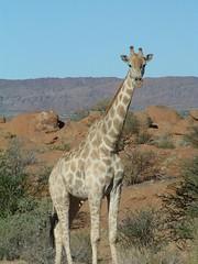Giraffe, Kgalagadi NP