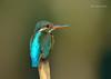 Sweet Little Queen!!! (Anirban Sinha 80) Tags: nikon d610 500mm ed vr ii n bokeh kingfisher bird colour