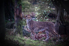 Hiding In The Trees (jamesromanl17) Tags: trees nature natural wood zoo atmosphere cheetah chester world photograph pics pet