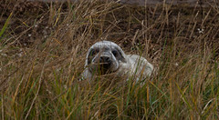 Peekaboo ! (_MG_7759) (depthoffield) Tags: seal grass baby hiding donnanook lincolnshire wildlife